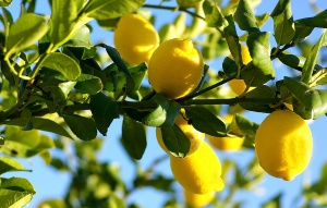 Lemon-Trees